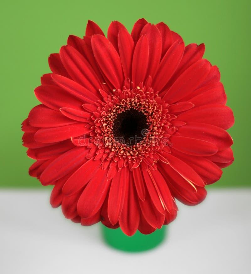 Marguerite rouge de gerberas sur le fond vert et blanc photographie stock