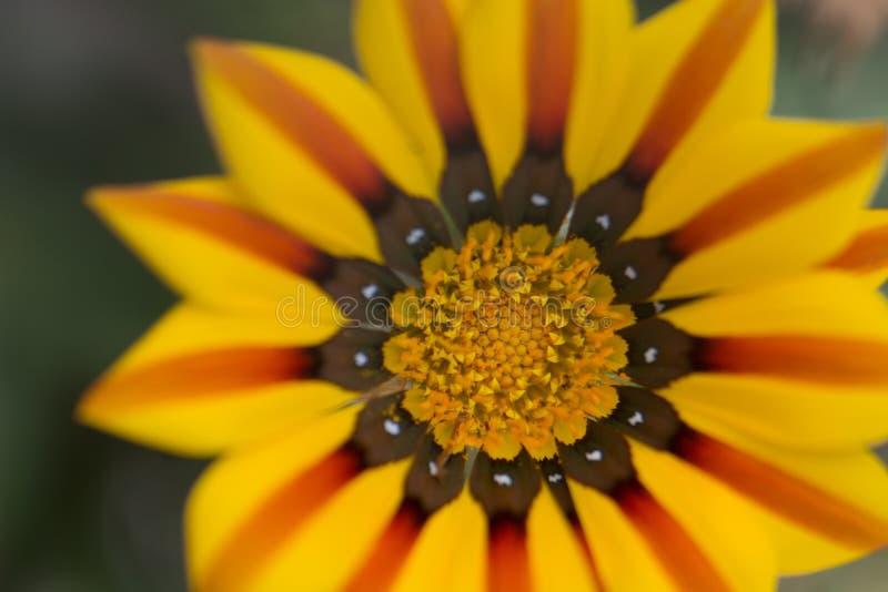 Marguerite rouge et jaune photos libres de droits