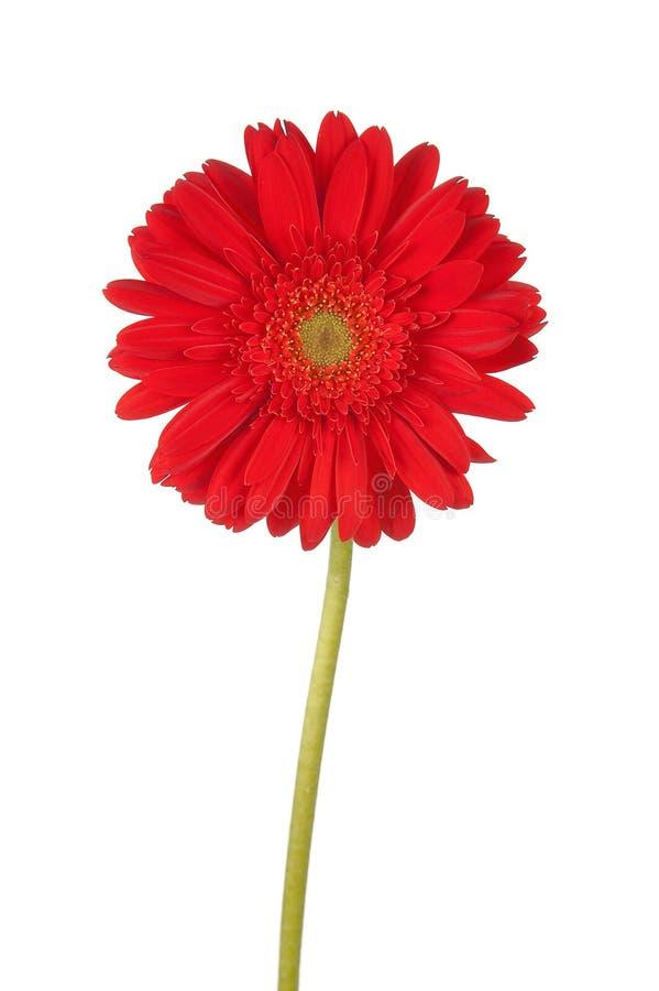 Marguerite rouge grande de gerber images stock