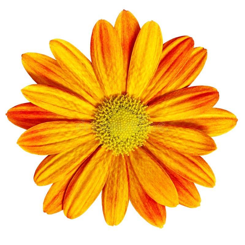 Marguerite rouge-orange de fleur de jardin d'isolement sur le fond blanc Plan rapproché Macro photographie stock