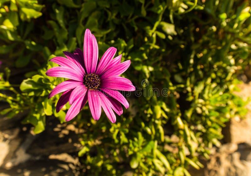 Marguerite roxo, Osteospermum fotos de stock