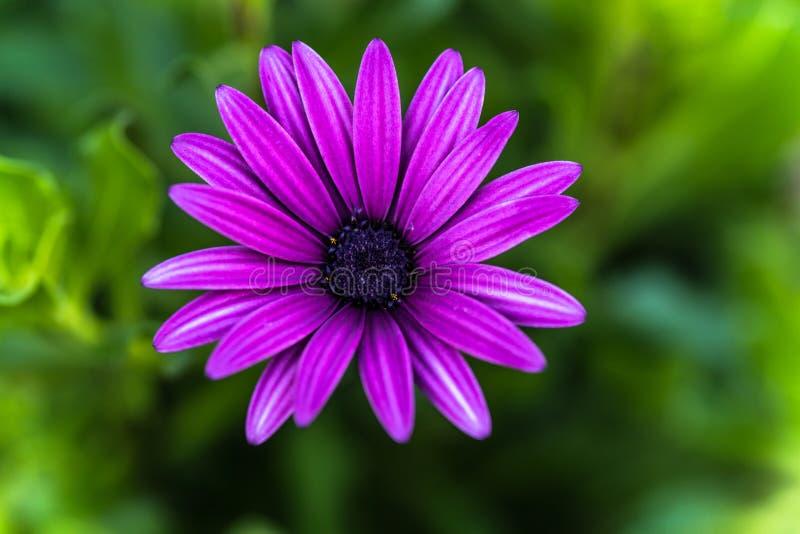 Marguerite roxo, Osteospermum imagens de stock royalty free