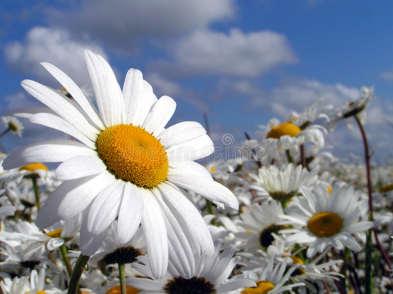 Marguerite Sea royalty free stock images