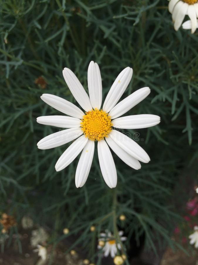 Marguerite simple photographie stock libre de droits