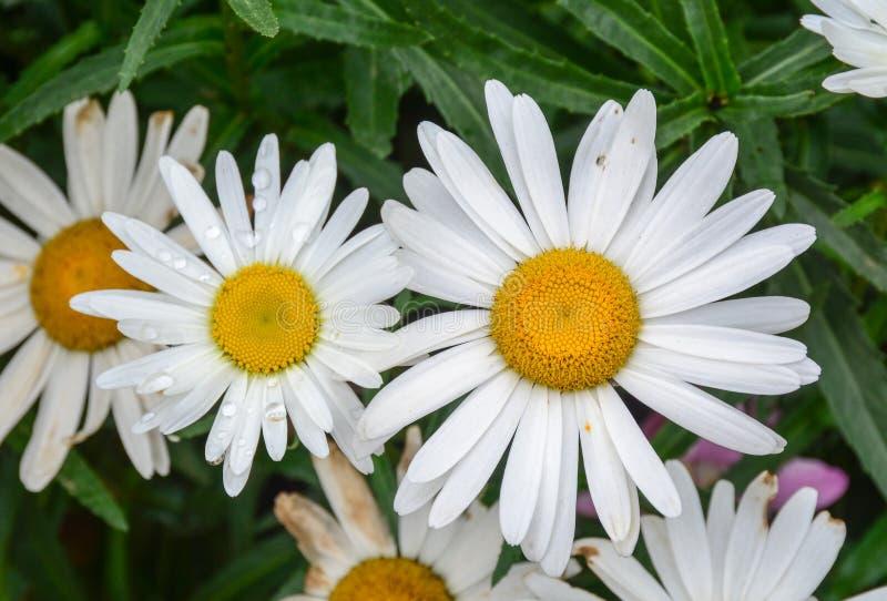 Marguerite stokrotki kwiaty zdjęcia stock