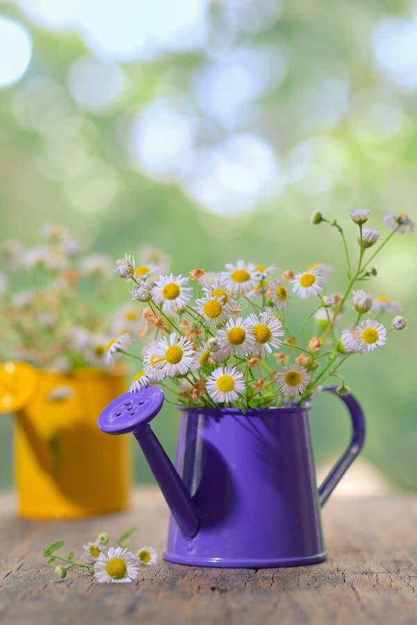 Marguerite stokrotki kwiaty fotografia royalty free