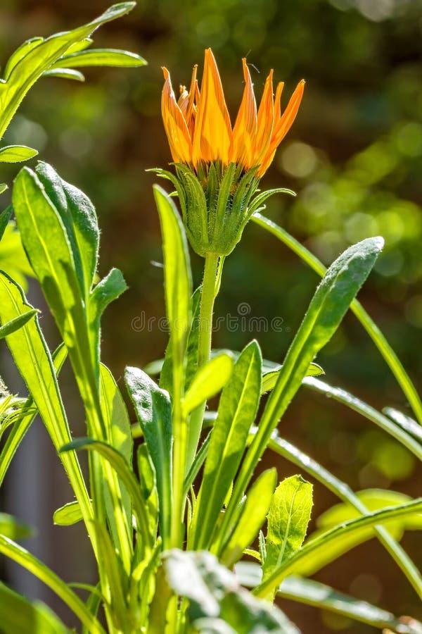 Marguerite sud-africaine de fleur éclairée à contre-jour, plan rapproché photo stock
