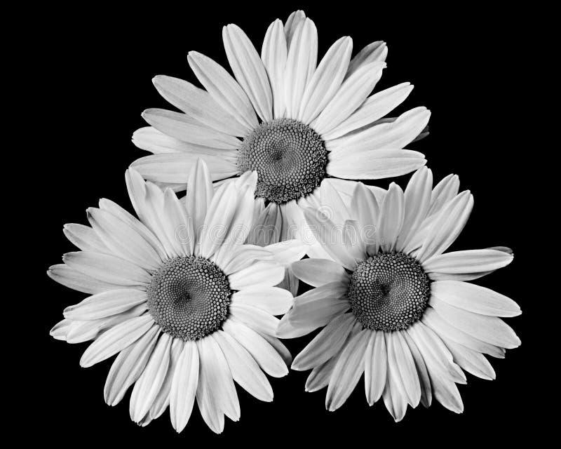 Marguerite trois noire et blanche photo libre de droits