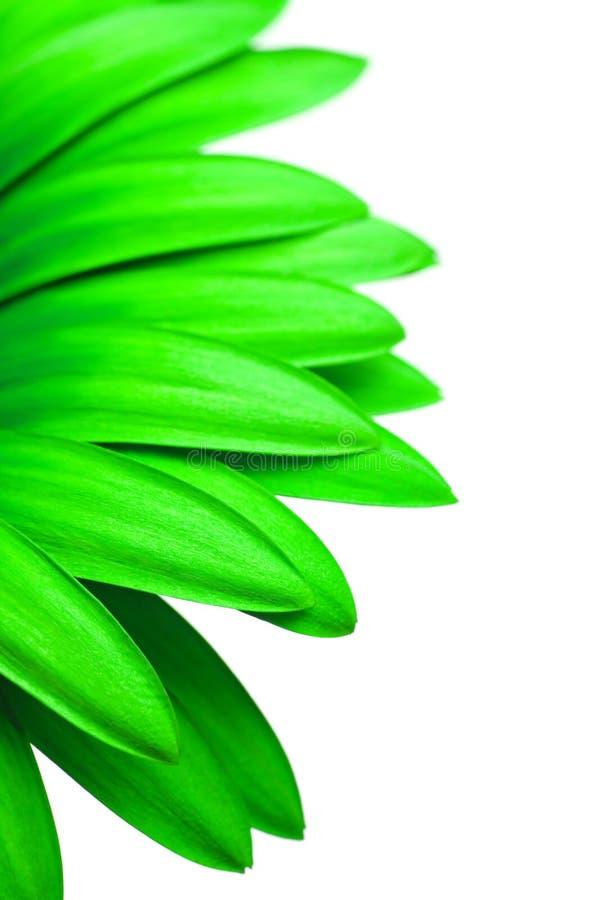 Marguerite verte d'isolement sur le blanc photos stock