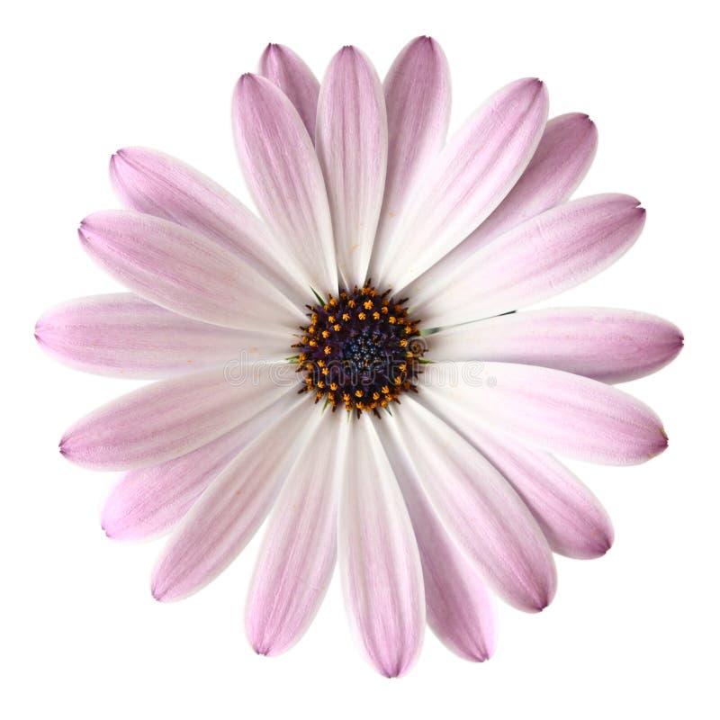 Marguerite violet-clair photo libre de droits