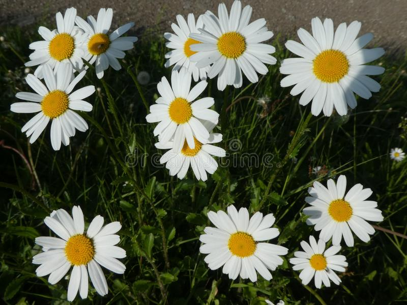 Marguerite flowers with white blossom in the meadow. Marguerite wild Flowers Meadow green grass White blossom forest nature stock image