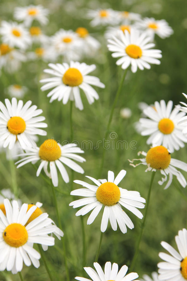 Marguerite wildflower meadow. Marguerite daisy wild flower meadow royalty free stock photography