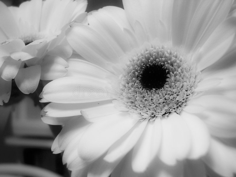 Marguerites photographie stock