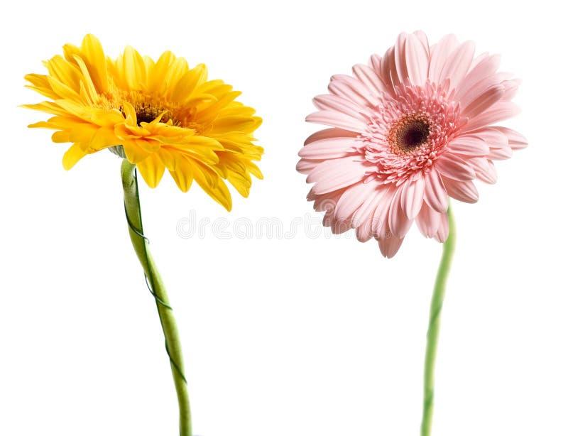 Download Marguerites photo stock. Image du blanc, floraison, jardinage - 8652090