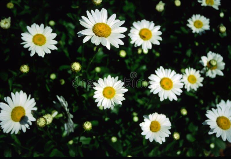 Marguerites photos libres de droits