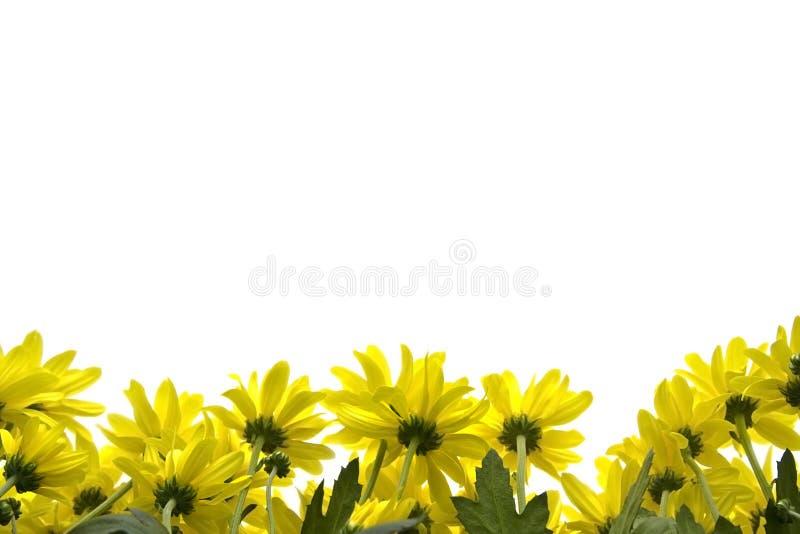 Marguerites amarelos imagens de stock