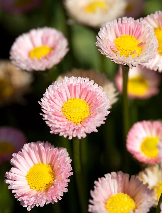 Marguerites anglaises lumineuses images stock