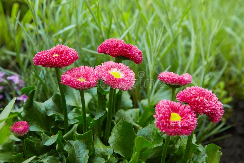 Marguerites anglaises roses - perennis de Bellis - au printemps jardin Bellasima s'est levé images libres de droits