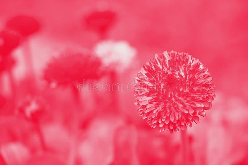 Marguerites anglaises roses - perennis de Bellis Fond de Duotone photo stock