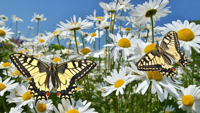 Marguerites avec des papillons de machaon photographie stock