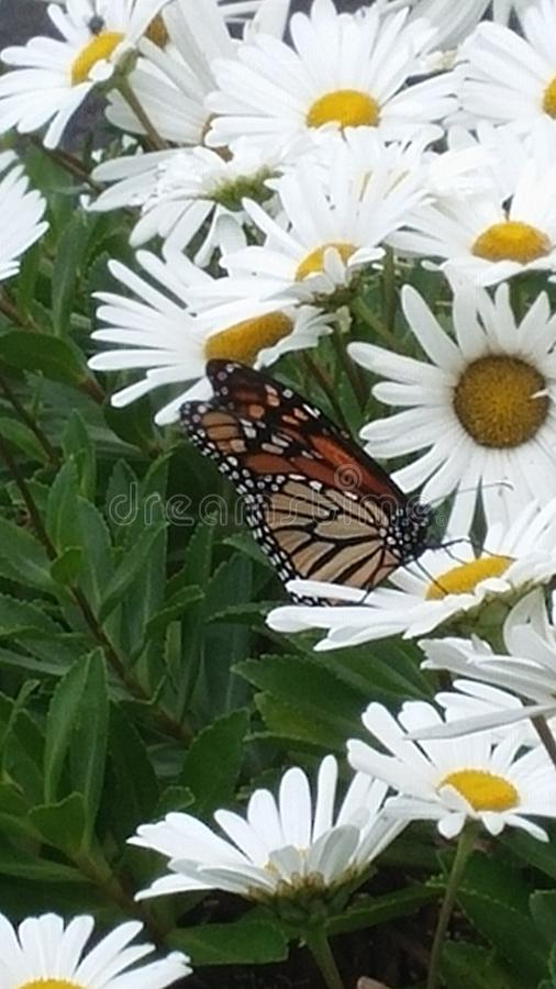 Marguerites avec le papillon de monarque photo stock