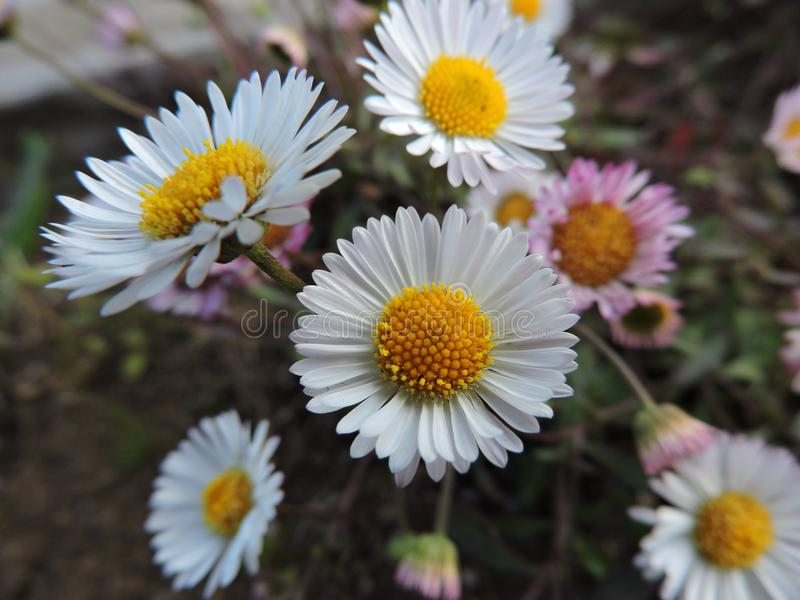 3 marguerites blanches image stock