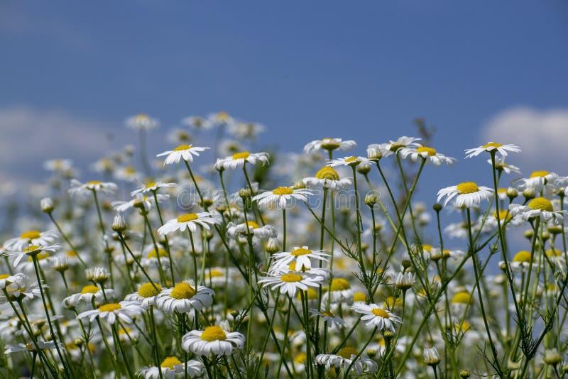 marguerites blanches contre un ciel bleu avec des nuages image stock