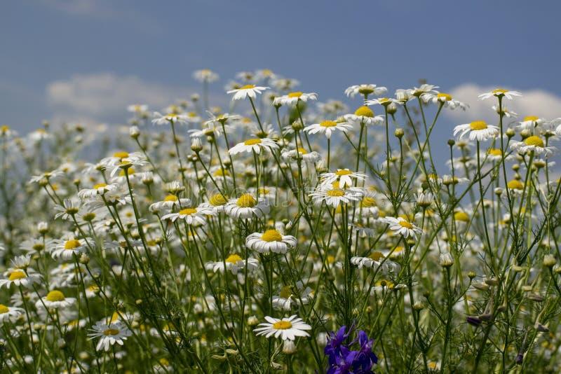 marguerites blanches contre un ciel bleu avec des nuages images libres de droits