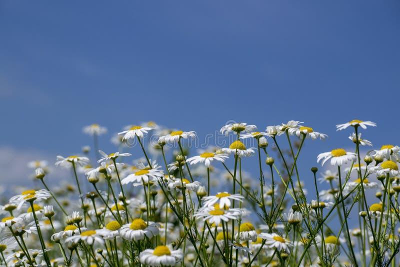 marguerites blanches contre un ciel bleu avec des nuages photo libre de droits