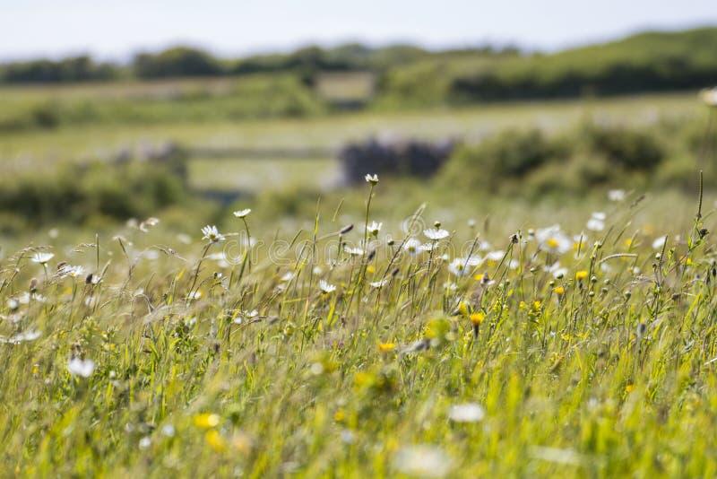 Marguerites blanches dans le domaine des fleurs image stock