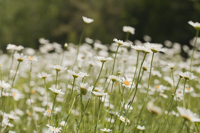 Marguerites blanches dans le pré avec un fond trouble photos stock