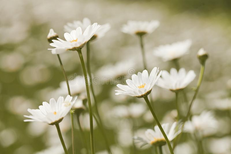 Marguerites blanches dans le pr? avec un fond trouble images libres de droits