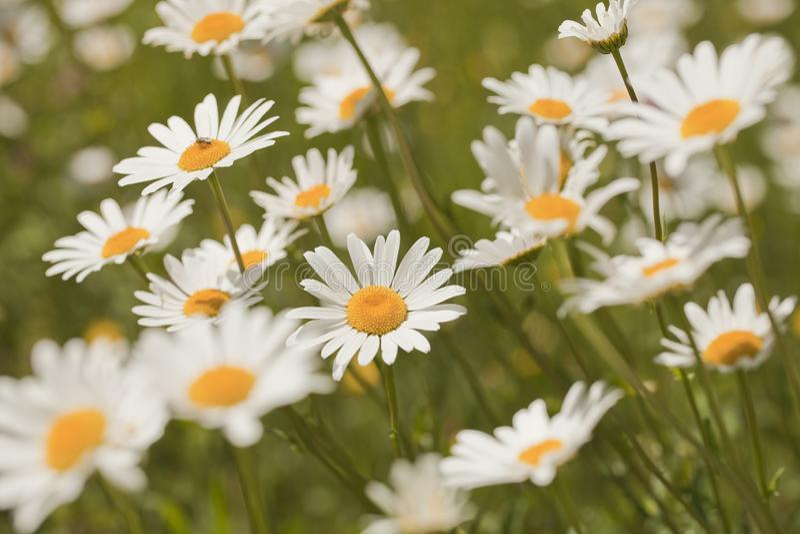 Marguerites blanches dans le pr? avec un fond trouble photographie stock