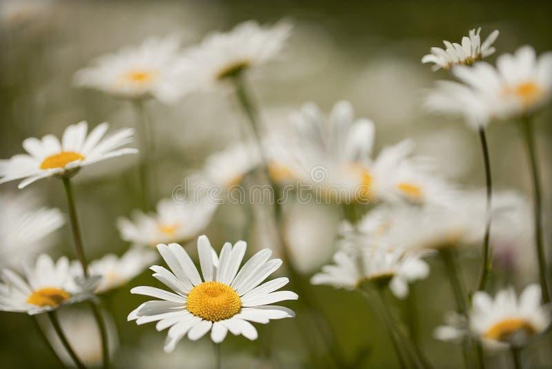 Marguerites blanches dans le pr? avec un fond trouble photographie stock libre de droits