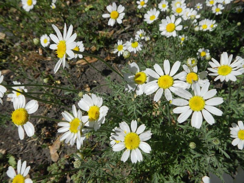 Marguerites blanches et feuilles de vert photographie stock libre de droits