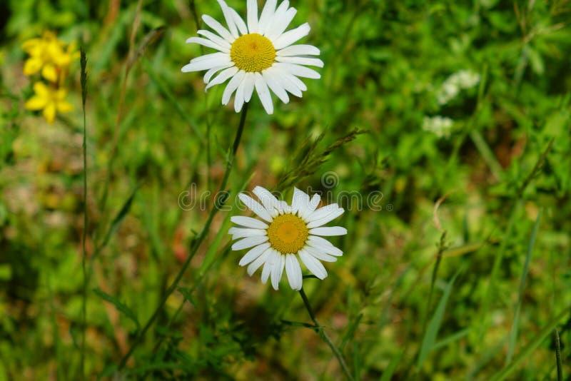 Marguerites blanches - Washington photographie stock libre de droits