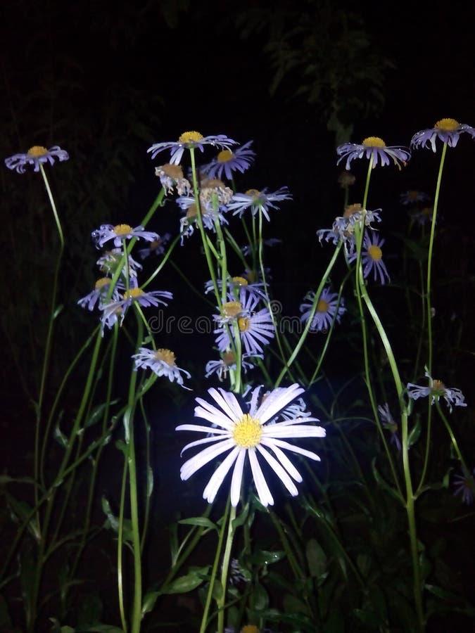 Marguerites bleues image libre de droits