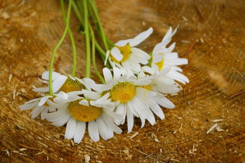 Marguerites. Close up blossom of marguerites on wood stub royalty free stock photos