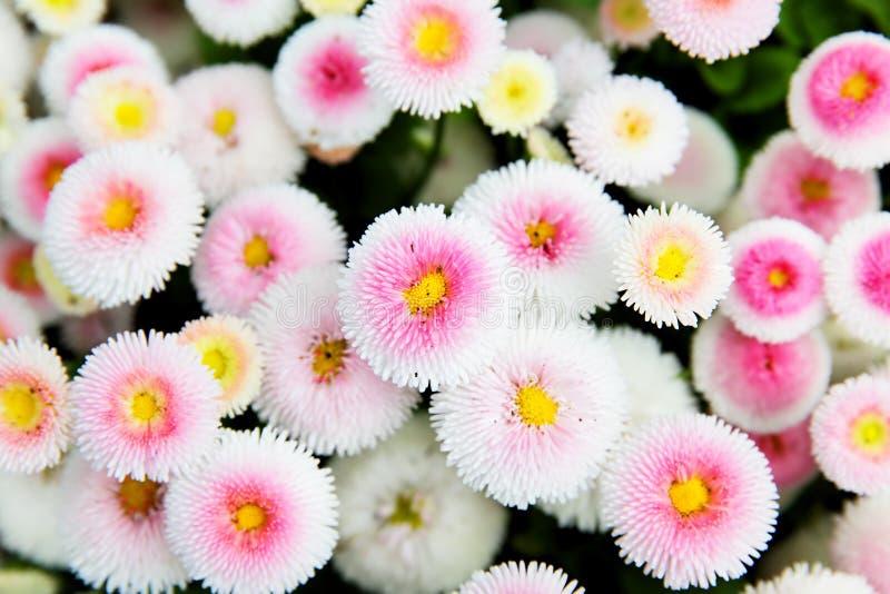 Marguerites colorées photo stock