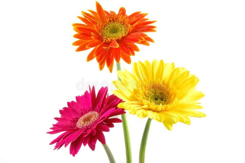 Marguerites colorées de gerber images stock