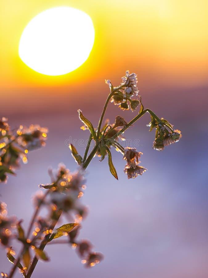 Marguerites congelées au coucher du soleil image libre de droits