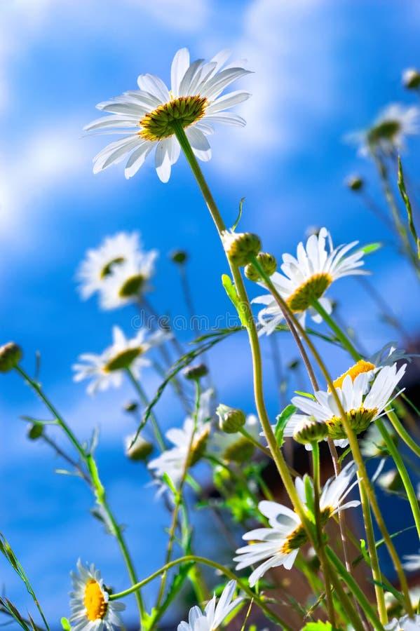 Marguerites contre le ciel. photo stock