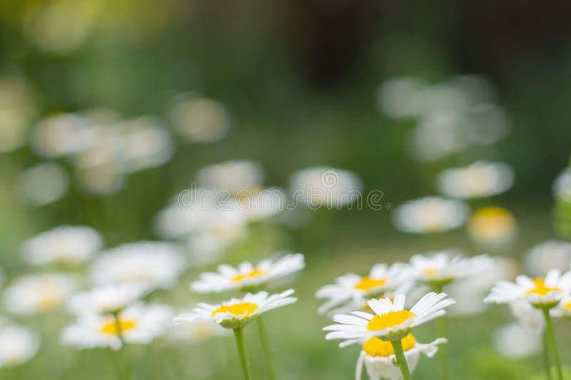 Marguerites dans le jardin toutes en vert jaune images libres de droits