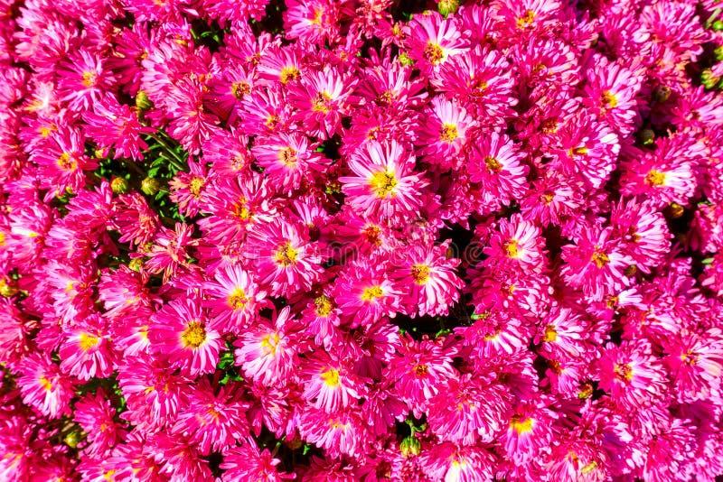 Marguerites dans un jardin - fond de fleur photographie stock