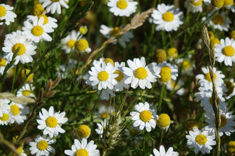 Marguerites dans un terrain de blé en Idaho du nord photos stock