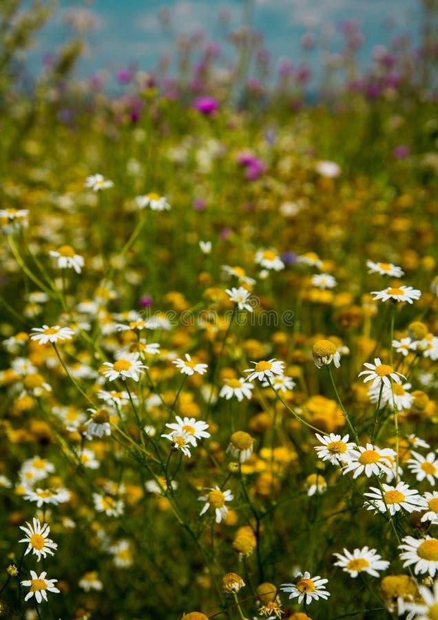 Marguerites de champ sous le ciel bleu photos stock