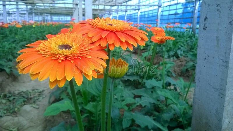 Marguerites de Gerbera et x28 ; flower& x29 ; image stock