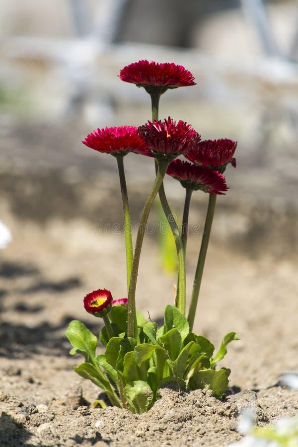 Marguerites de l'anglais de Bourgogne de jardin photos libres de droits
