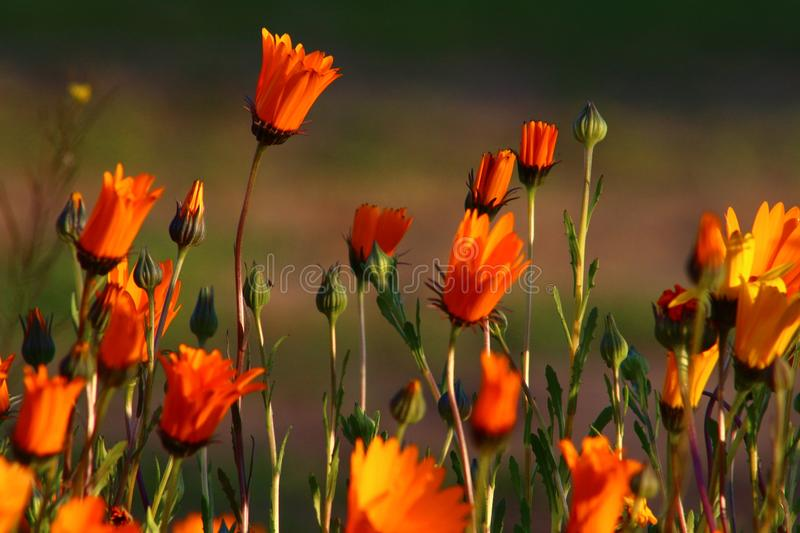 Marguerites de Namaqualand photographie stock