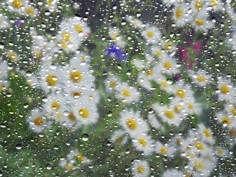 Marguerites de ressort par la fenêtre pluvieuse images stock